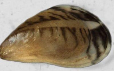 Alerte à la moule quagga dans les eaux du Léman